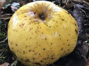 """بالصدفة.. العثور على """"نوع غريب وجديد تماما"""" من التفاح"""